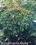 Caesalpinia pluviosa var. peltophoroides