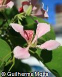 Bauhinia monandra